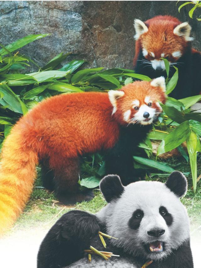動物知識-紅貓熊 不是一般的貓熊(2)劇照 1