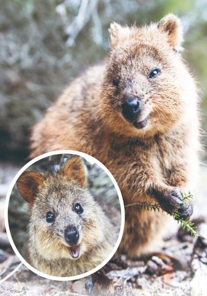 動物趣聞 短尾矮袋鼠:帶著微笑的有袋動物 (1)線上看