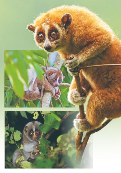 動物趣聞 懶猴:身懷祕密武器的靈長類動物 (1)線上看