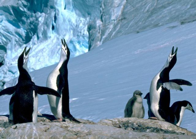 朗恩納菲恩:我與南極企鵝的快樂時光劇照 2