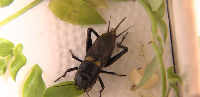 動物大明星 第五季#05 蟋蟀 線上看