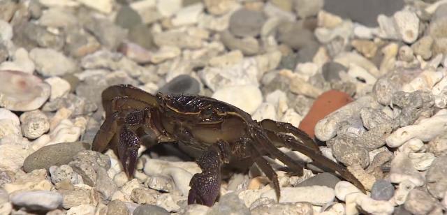 動物大明星 第五季#06 陸蟹 線上看