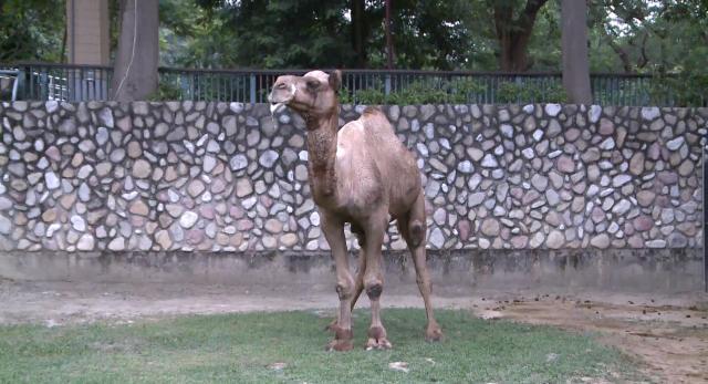 動物大明星 第五季#10 駱駝 線上看