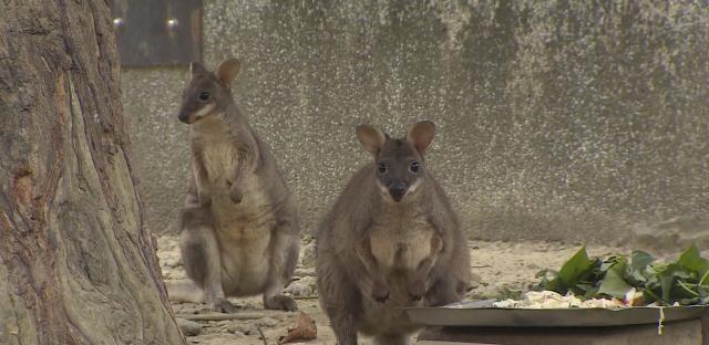 動物大明星 第五季#11 袋鼠 線上看