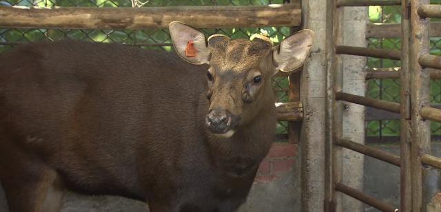 動物大明星 第五季#12 水鹿 線上看